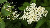 Elderflower on the bush, wih one head having already lost its flowers and is turning to berries  credit: Marie-Louise Avery / thePictureKitchen / TopFoto