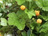 The cloudberry, Rubus chamaemorus L., Rosaceae, is a small herbaceous bramble common to peat bogs in the northern hemisphere. The berry has a strong musky flavour, quite distinct from that of any of the other bramble...