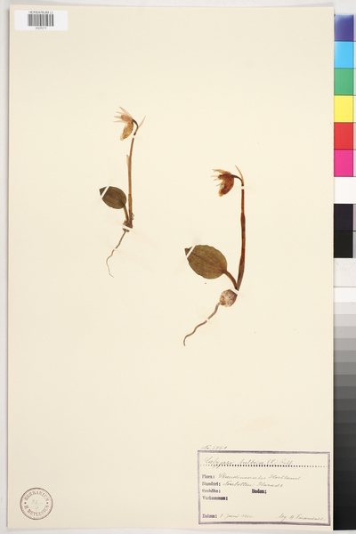 Calypso bulbosa  (L.) Rchb.