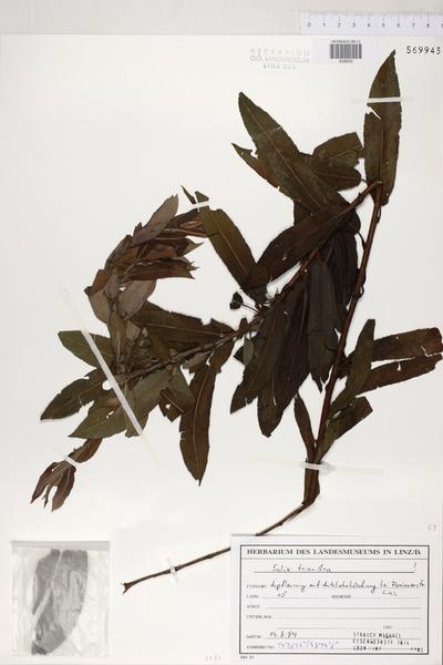 Salix triandra L.