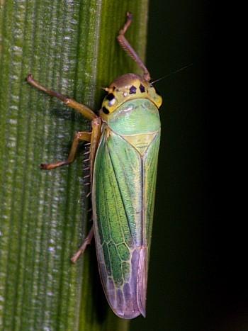 Image from object titled Green Planthopper (<i>Cicadella viridis</i>)