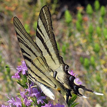Scarce, Sail or Pear-tree Swallowtail Butterfly (<i>Iphiclides podalirius</i>)