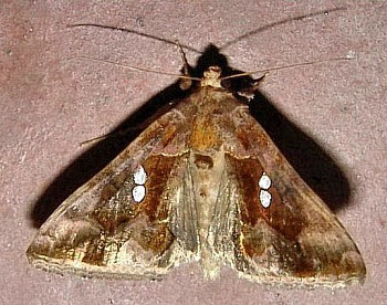Image from object titled Golden Twin-spot Moth (<i>Chrysodeixis chalcites</i>)