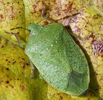 Image from object titled Southern Green Stink Bug, Green Vegetable Bug (<i>Nezara viridula</i>)