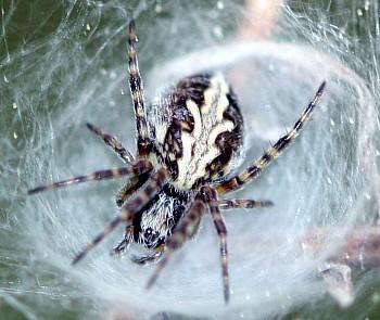 Image from object titled hrastovolistni pajek (<i>Aculepeira ceropegia</i>)