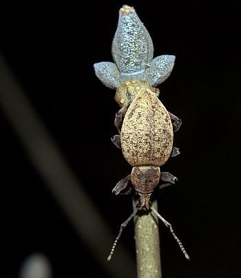 Image from object titled jajčasti rilčkar (<i>Otiorhynchus sulfurifer</i>)