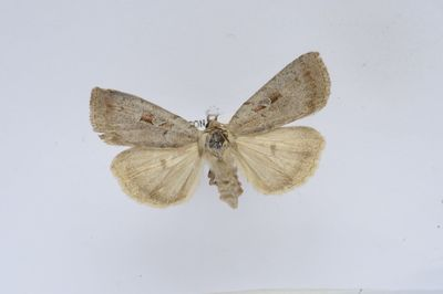 coenophila subrosea stephens 1829 europeana collections. Black Bedroom Furniture Sets. Home Design Ideas