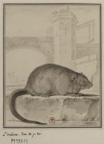 Image from object titled [L'Ondatra.] : [dessin] / De Seve 1759.