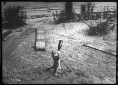 "Image from object titled [Chat ""buvant"" à la bouteille] : [photographie de presse] / [Agence Rol]"