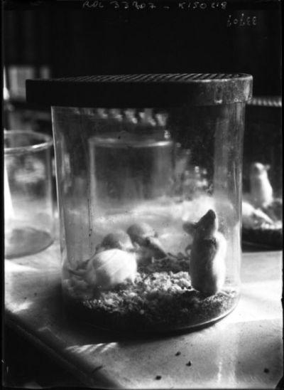 Image from object titled Institut Pasteur, rats pour expérience : [photographie de presse] / [Agence Rol]
