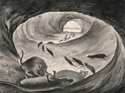 Image from object titled Rats roaming the sewers, some of them dying, heralding the plague. Drawing by A.L. Tarter, 194-.