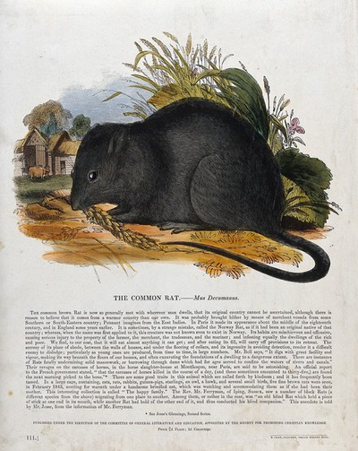 Image from object titled A rat knibbling on corn outside a farmyard. Coloured wood engraving by J. W. Whimper.