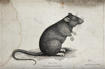 Image from object titled A black rat sitting upright on the ground. Etching by W. S. Howitt.
