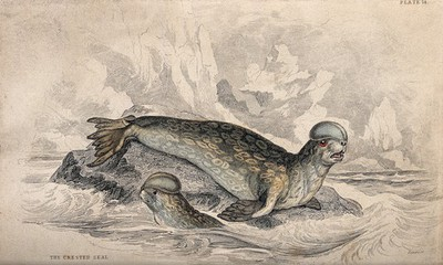 Image from object titled A crested seal is sitting on a rock in the water while another one is swimming around the rock. Coloured etching by W. H. Lizars after J. Stewart.