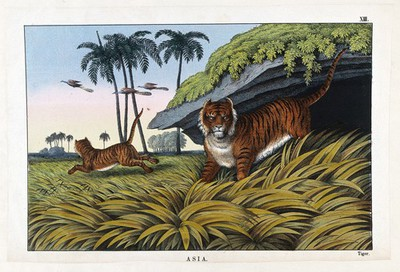 Image from object titled Two tigers hunting for food. Coloured lithograph.