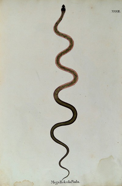 Image from object titled A snake, slender and green in colour, with a darker zig-zag marking along its back and bands of pink running along each side of the upper body. Watercolour, ca. 1795.