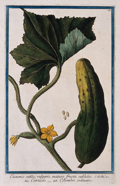 Image from object titled Cucumber (Cucumis sativus L.): flowering stem with separate fruit and seeds. Coloured etching by M. Bouchard, 1772.