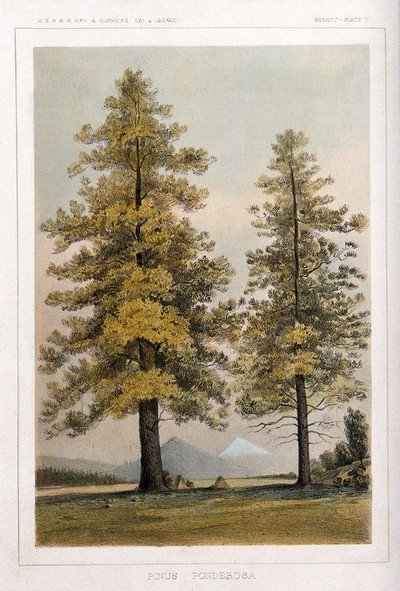 Image from object titled Ponderosa pine (Pinus ponderosa Douglas ex Lawson & P. Lawson): two trees in open landscape. Coloured lithograph, c.1857.
