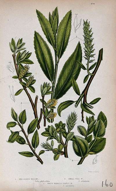 Image from object titled Three plant stems with catkins, all from named types of willow (Salix species). Chromolithograph by W. Dickes & co., c. 1855.