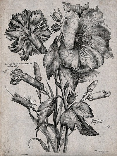 Image from object titled A carnation (Dianthus caryophyllus) and hollyhock (Alcea rosea): flowering stems. Etching by N. Robert, c. 1660, after himself.