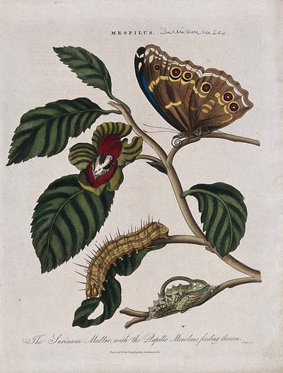 Image from object titled A flowering branch of medlar (Mespilus germanica) with butterfly, chrysalis and caterpillar of a Papilio species. Coloured engraving by J. Pass, c. 1816.