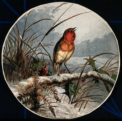 Image from object titled A robin on a branch of holly. Colour lithograph after H. Weir, 1858.