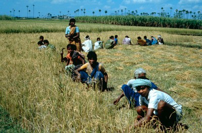 Image from object titled Agriculture: harvesting rice