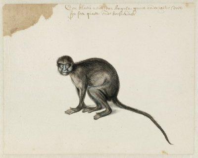 Knevelmeerkat, ook bekend als blauwlipmeerkat, snormeerkat of knevelmakako (Cercopithecus cephus, (Linnaeus, 1758).<br> Aquarel en gouache met pen in zwart, over grafiet,           geannoteerd met pen in bruine inkt, verso...