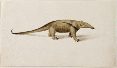 Kleine miereneter (Tamandua tetradactyla (Linnaeus, 1758).<br> Aquarel en gouache met pen in zwart en bruin, over grafiet.<br> Watermerk: geen.; NL-HlmNHA_53004651_02; Kennemerland NL-HlmNHA_53004651_02