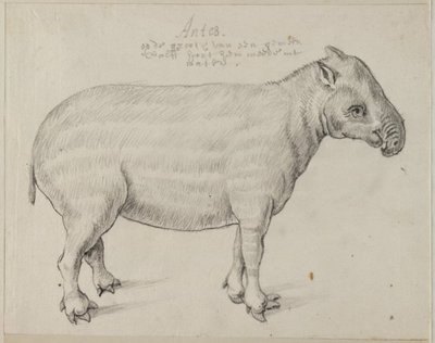 Laaglandtapir (Tapiris terrestris (Linnaeus, 1758).<br> Grafiettekening, geannoteerd. <br> Watermerk: (fragment) Dubbelkoppige adelaar.; NL-HlmNHA_53004658_01; Kennemerland NL-HlmNHA_53004658_01