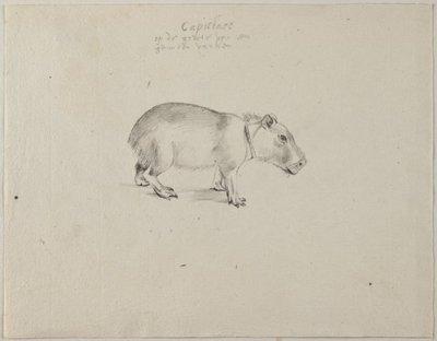 Capibara (Hydrochoerus hydrochaeris (Linnaeus, 1766).<br> Grafiettekening, geannoteerd.<br> Watermerk: geen.; NL-HlmNHA_53004657_01; Kennemerland NL-HlmNHA_53004657_01