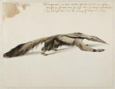 Reuzenmiereneter (Myrmecophaga tridactyla (Linnaeus, 1758).<br> Aquarel en gouache met pen in zwart, over grafiet, geannoteerd met pen in bruine inkt, verso genummerd met           grafiet <i>N 5</i>.<br> Watermerk: geen.;...