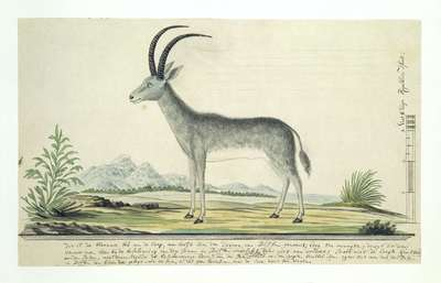 Image from object titled Hippotragus leucophaeus (Bluebuck)
