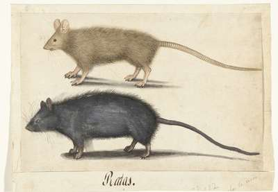 Image from object titled Rats and Mice