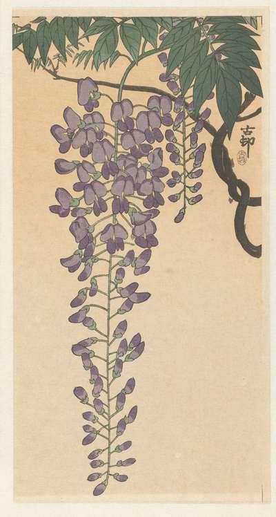 Bloeiende wisteria