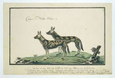 Image from object titled Lycaon pictus (African wild dog)