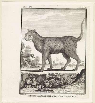 Wilde kat; Le chat sauvage de la nouvelle espagne