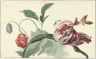 Image from object titled Tulip and a Poppy