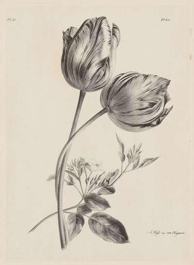 Twee tulpen; Bloem en Fruit Studien (...) 3de aflevering