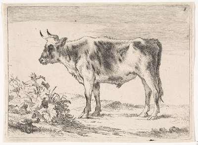 Jonge os; Ossen en koeien