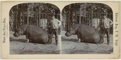 Nijlpaard in dierentuin (Artis?), Nederland; Vues des Pays-Bas. [Edition originale]