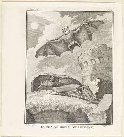 Vleermuizen; La chauve-souris musaraigne