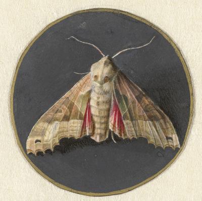 Image from object titled Uiltje of nachtvlinder; Dieren
