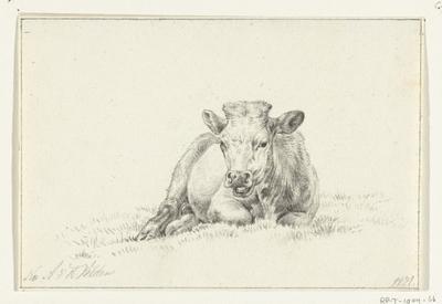 Liggende koe, van voren