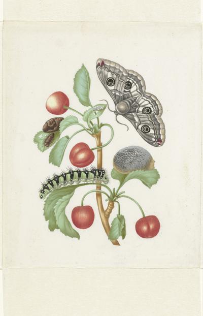 Image from object titled Gedaanteverwisseling van de nachtpauwoog