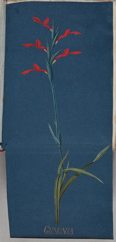 Bloem: de Cunonia / door [Georg Dionysius] Ehret (1708-1770), botanicus