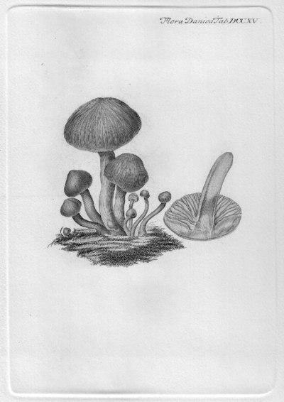 Hygrocybe coccinea (Schaeff.) P. Kumm. 1871