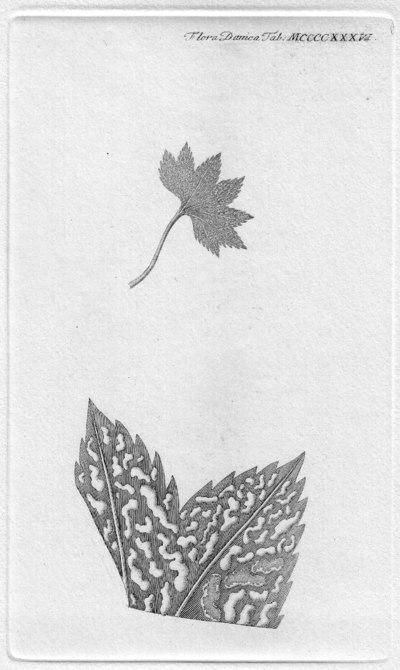 Trachyspora intrusa (Grev.) Arthur 1934