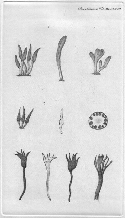 Xylaria hypoxylon var. cupressiformis Pers.