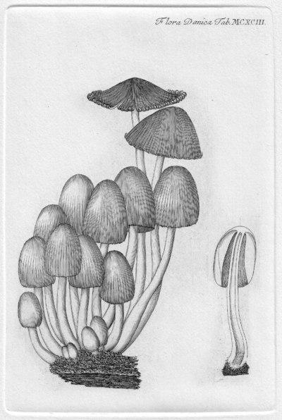 Coprinellus micaceus (Bull.) Vilgalys, Hopple & Jacq. Johnson, in Redhead, Vilgalys, Moncalvo, Johnson & Hopple 2001